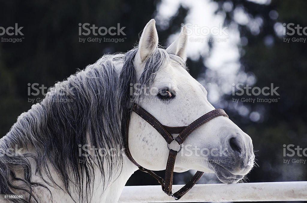 Grey Arabian stallion portrait stock photo