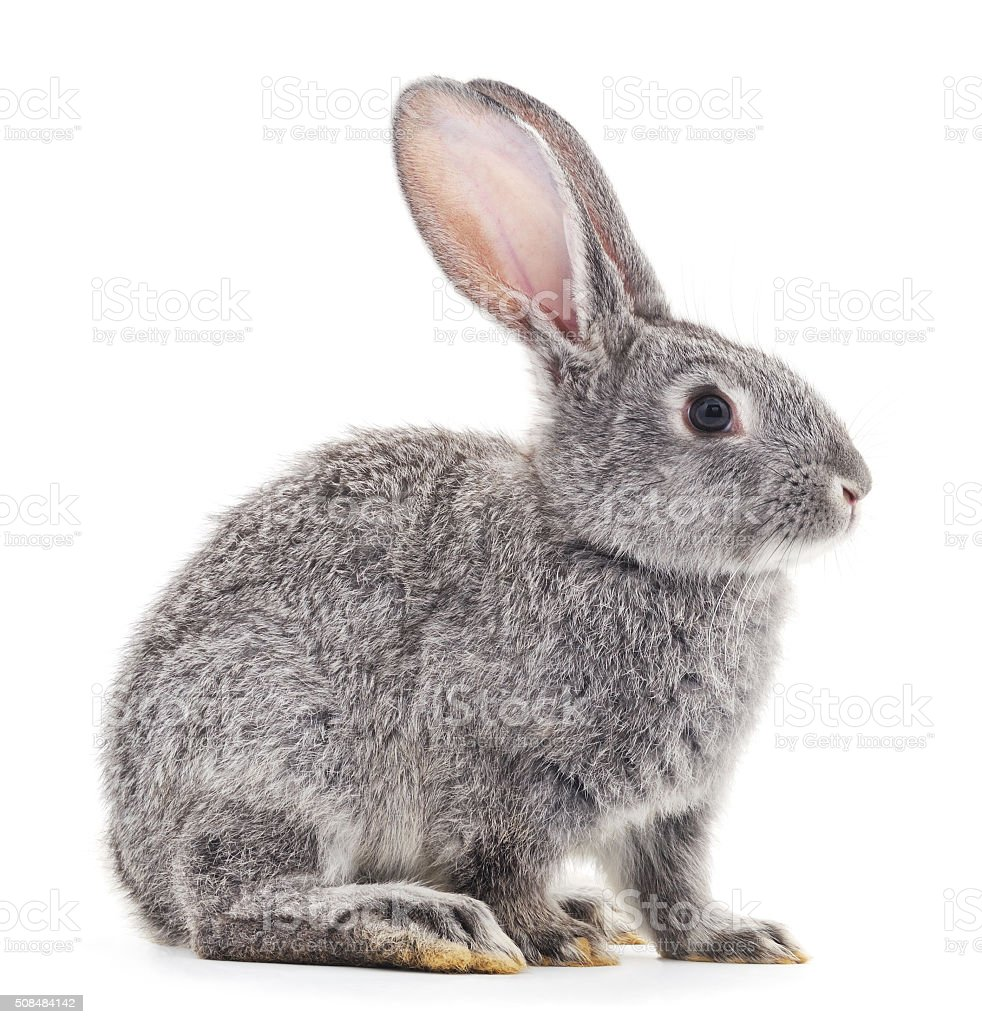 Grey baby rabbit. stock photo