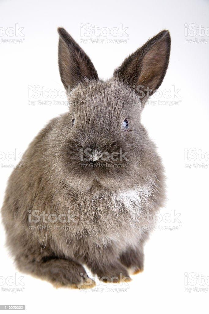 grey bunny, isolated royalty-free stock photo