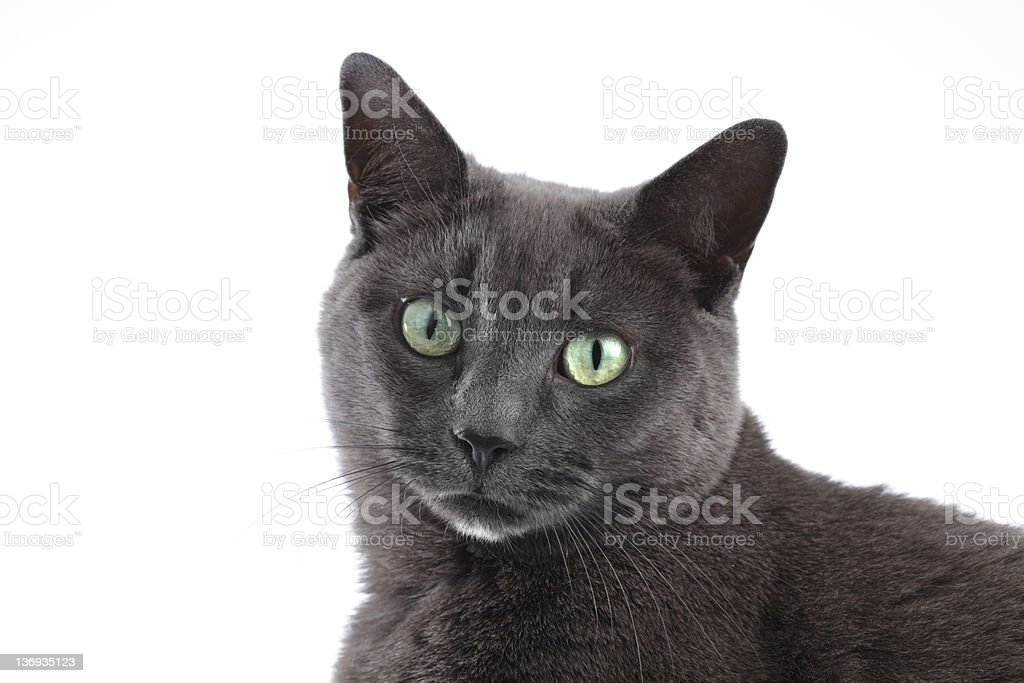 Grey Cat Isolated on White stock photo