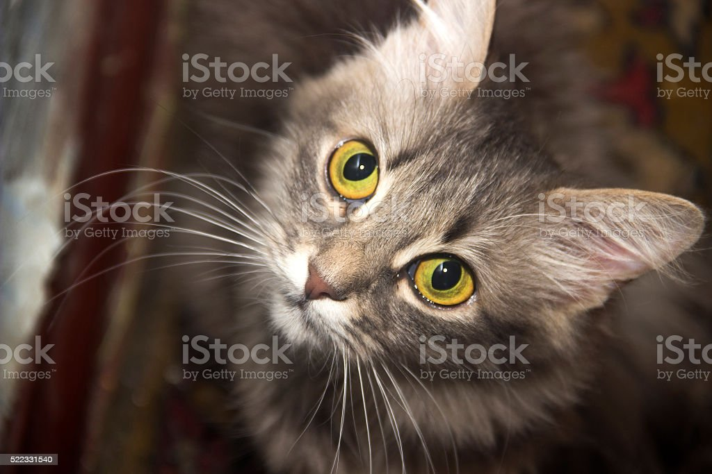 grey cat stock photo