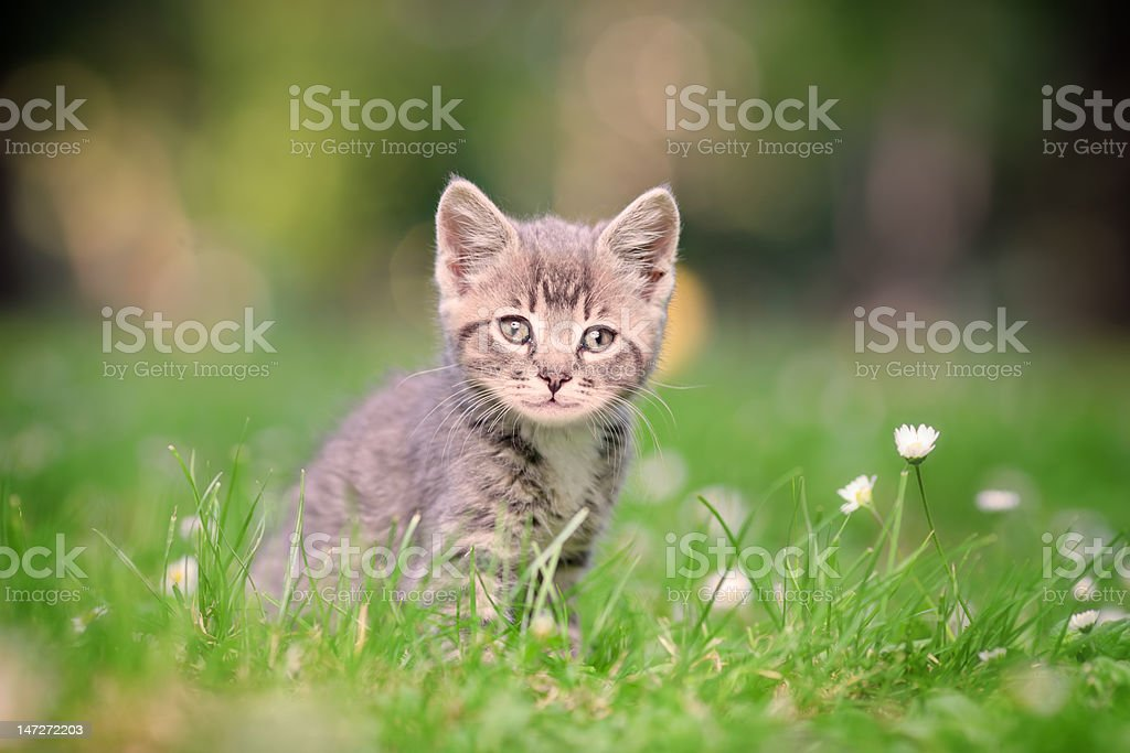Grey cat posing outside royalty-free stock photo