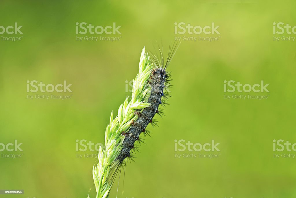grey caterpillar royalty-free stock photo