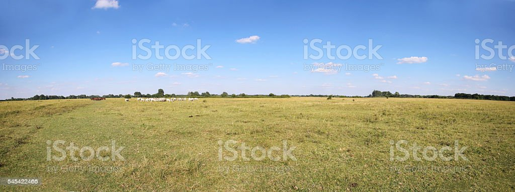 Grey cattle cows herd grazing at hungarian desert puszta stock photo