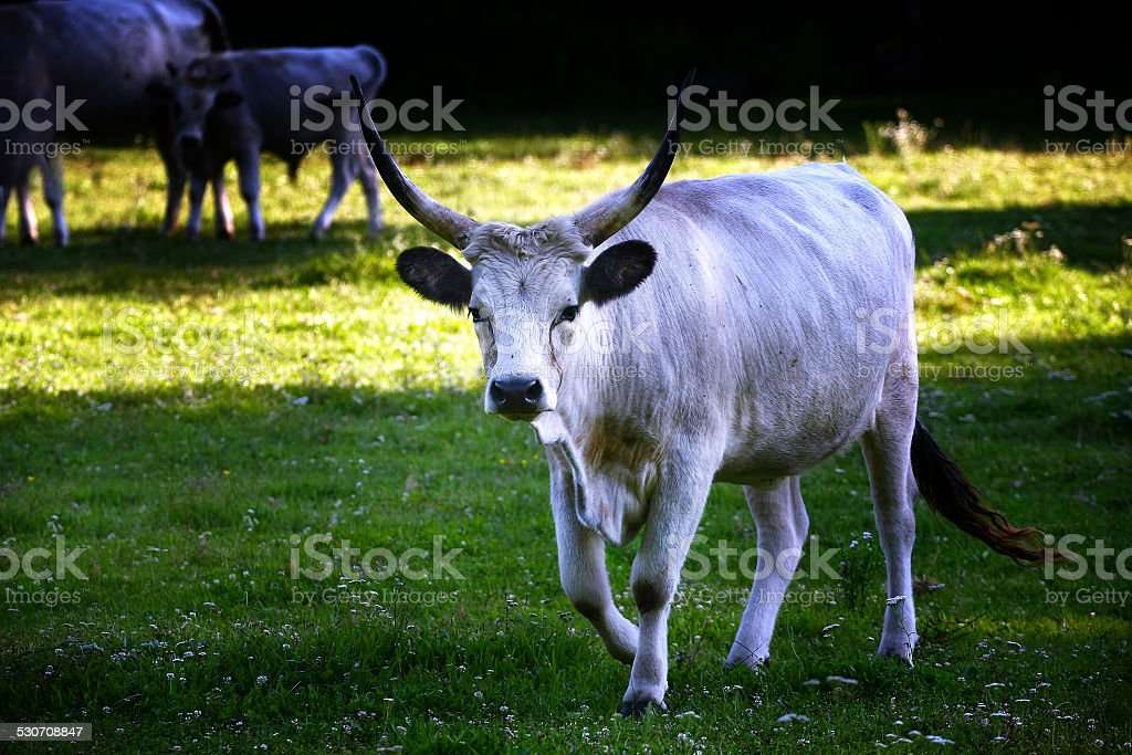 Grey cattle on meadow stock photo