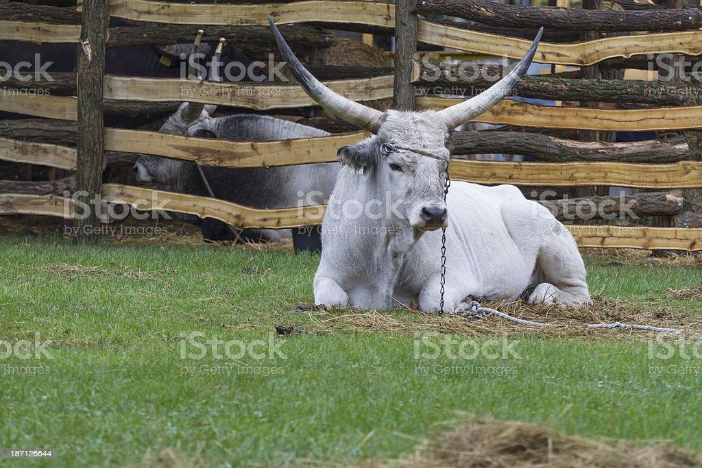 Grey cattle stock photo