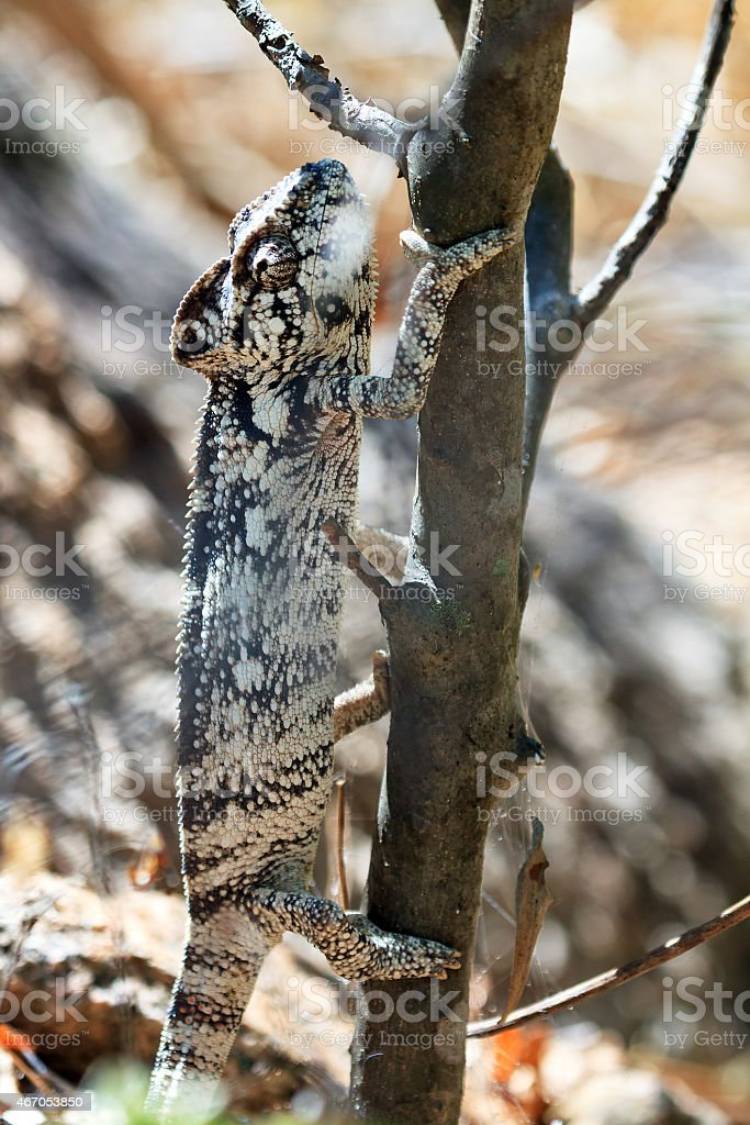 Grey chameleon camouflage stock photo