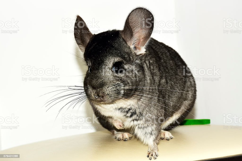 Grey chinchilla. stock photo