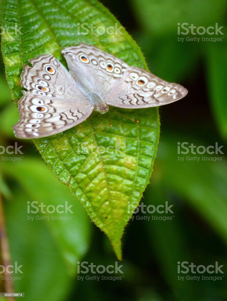 Grey color butterfly on leaf -2 stock photo