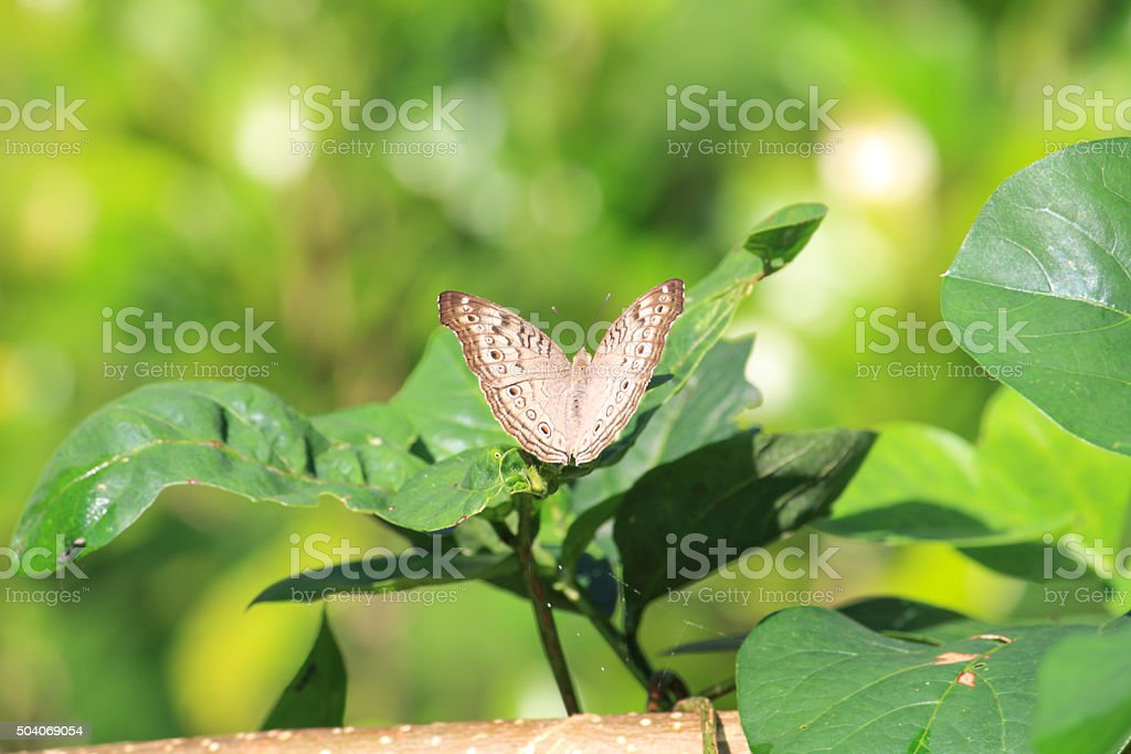 Grey color butterfly on leaf -4 stock photo