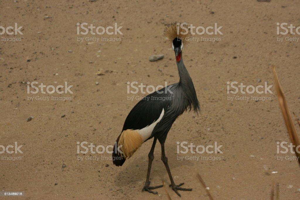 Grey Crane stock photo