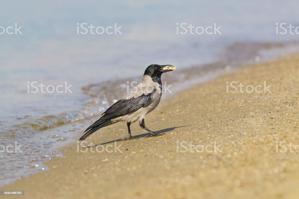 Grey crow (lat. Corvus cornix) with a piece of food is on the sandy shore along the sea. stock photo