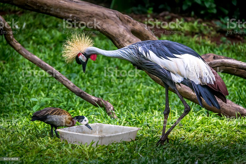 Grey crowned crane and duck eating stock photo