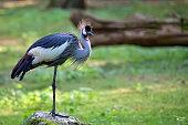 Grey Crowned Crane - Balearica regulorum in the wild