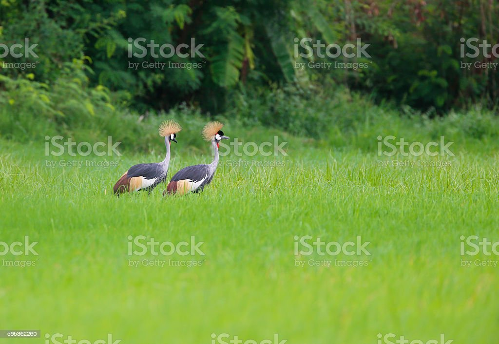 Grey crowned crane in rice fields. stock photo