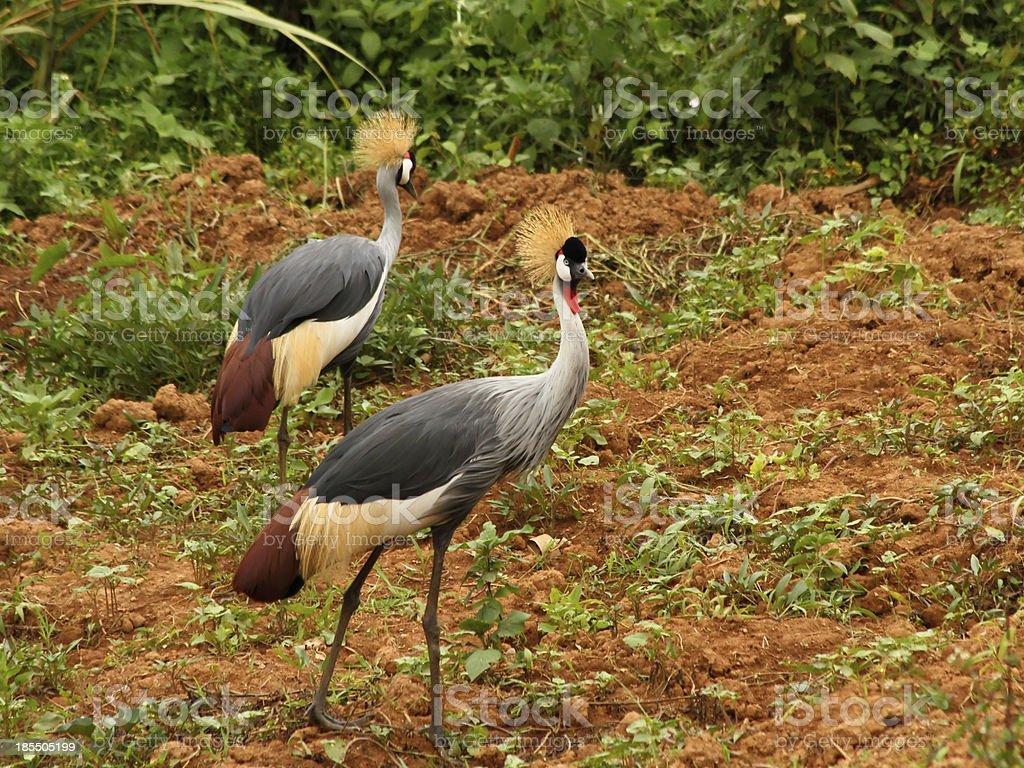 Grey Crowned Crane in Uganda royalty-free stock photo