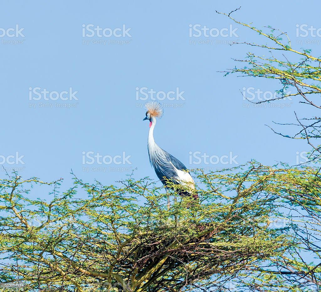 Grey Crowned Crane on Acacia Tree stock photo