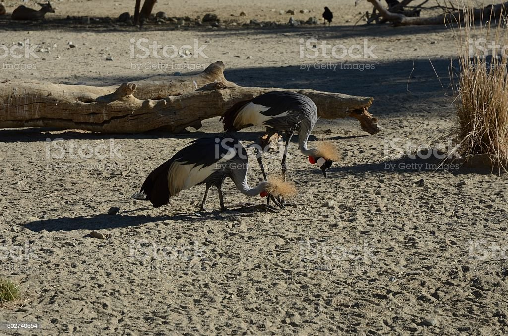 Grey Crowned Crane Pair Food Foraging in the Sand royalty-free stock photo