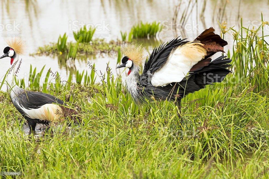 Grey Crowned Crane royalty-free stock photo