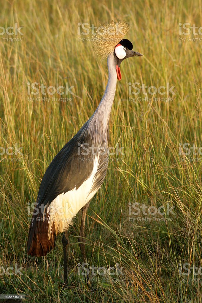 Grey Crowned Crane stock photo