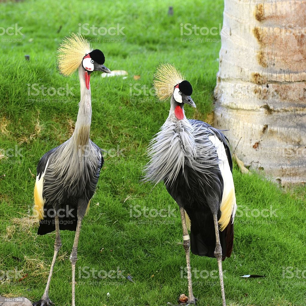 Grey Crowned Crane royalty-free stock photo