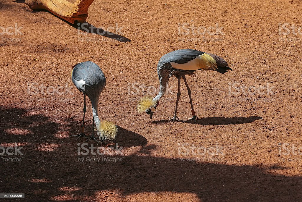 Grey Crowned Crane (Balearica Regulorum). royalty-free stock photo