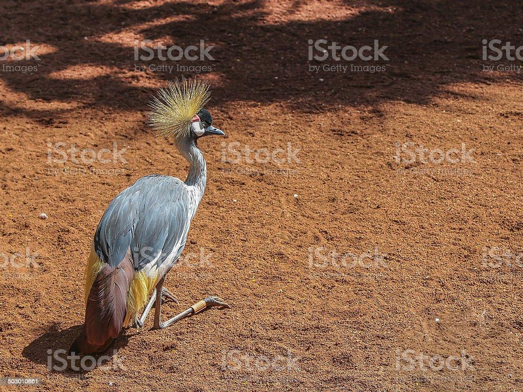Grey Crowned Crane (Balearica Regulorum). royalty-free stock photo
