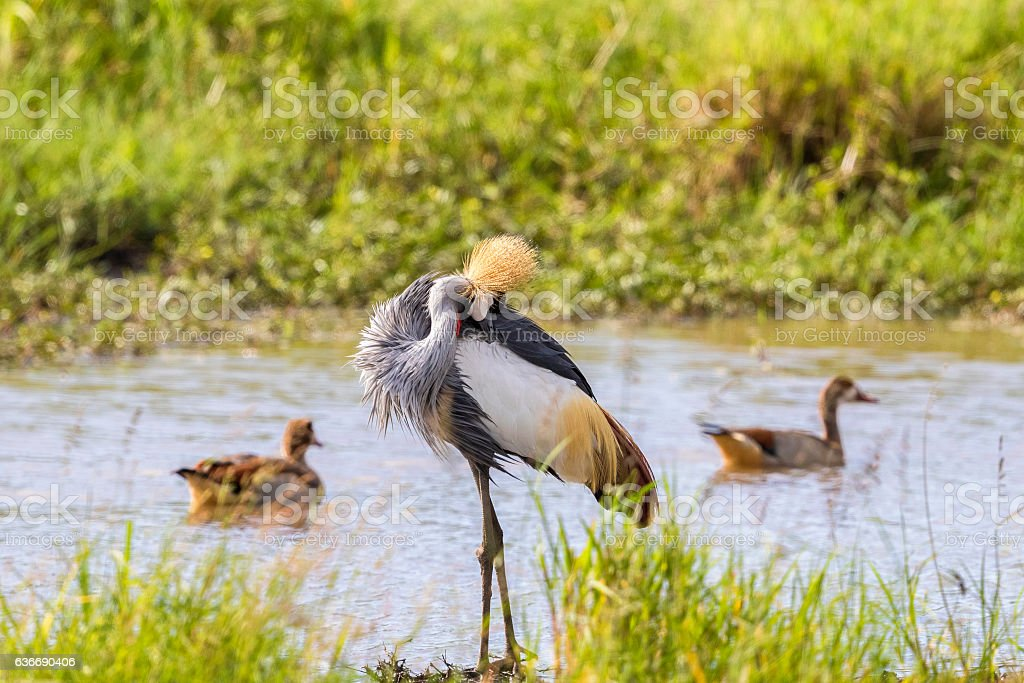 Grey Crowned Crane preening herself at the waters edge stock photo