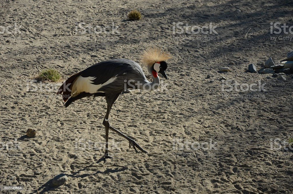 Grey Crowned Crane Standing in the Sand royalty-free stock photo