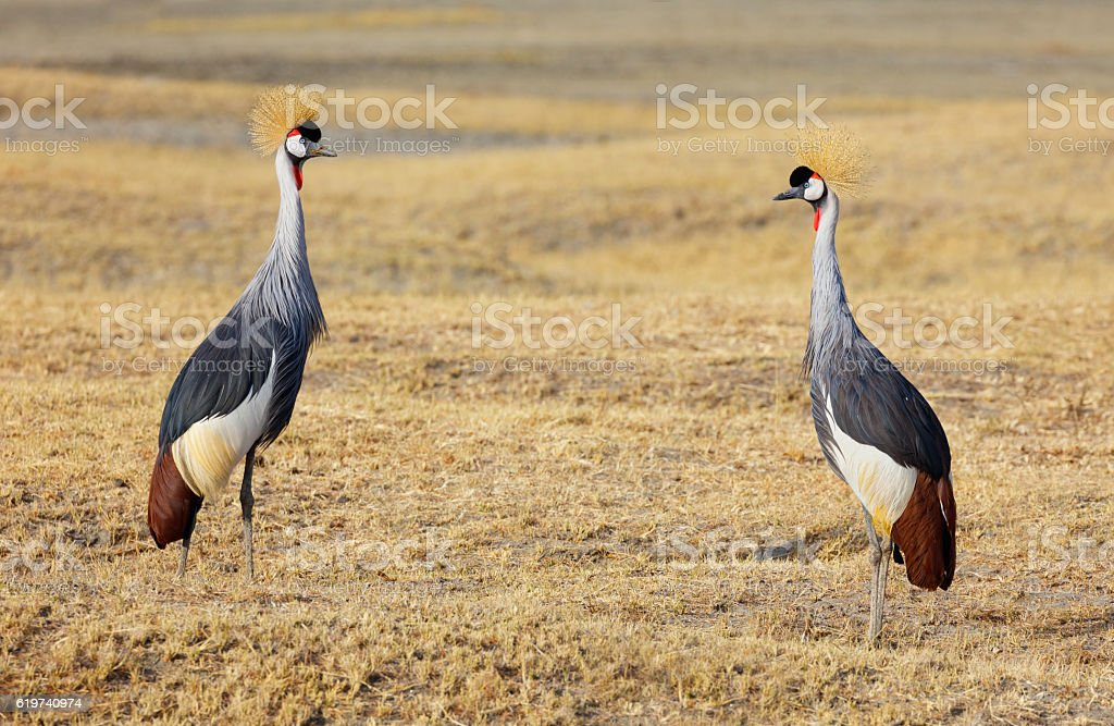 Grey Crowned Cranes, Ngorongoro Crater, Tanzania Africa stock photo