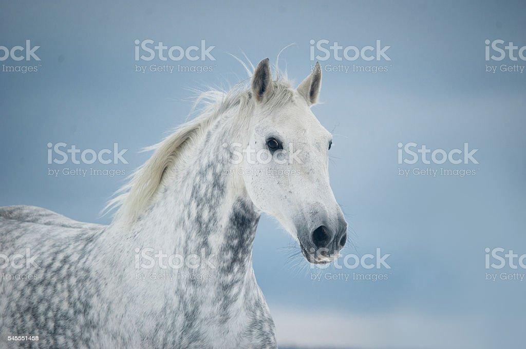 grey dappled horse winter portrait stock photo