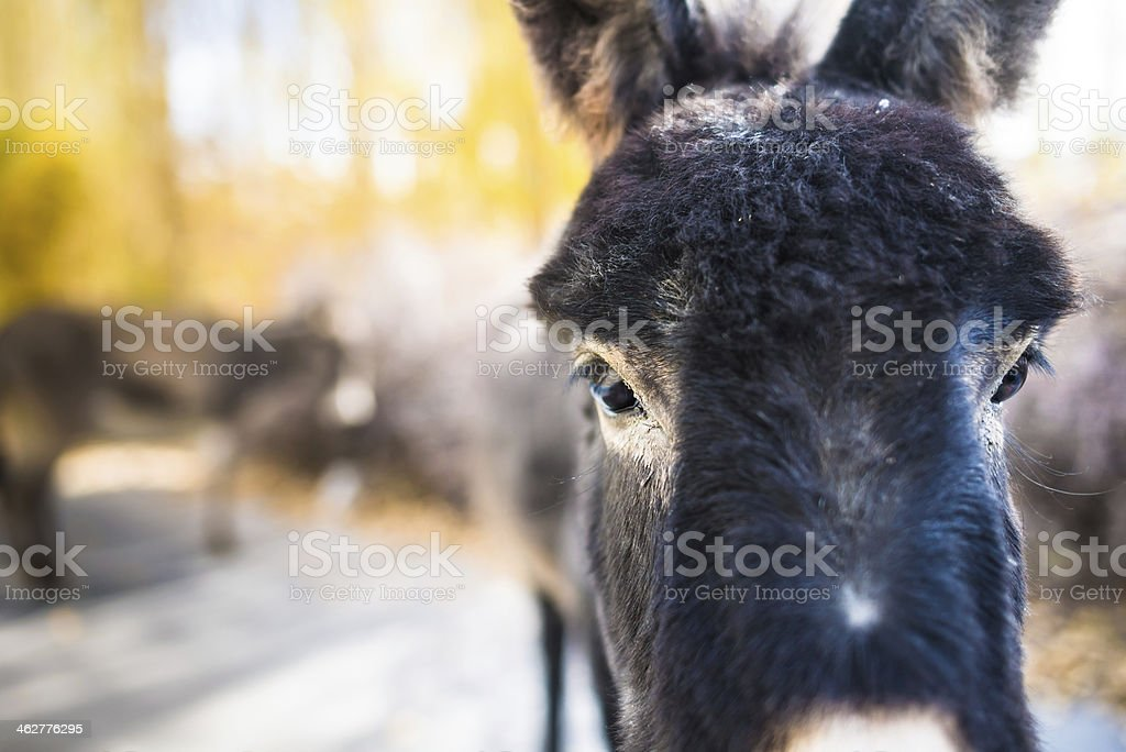 Grey donkey in Norther part of India royalty-free stock photo