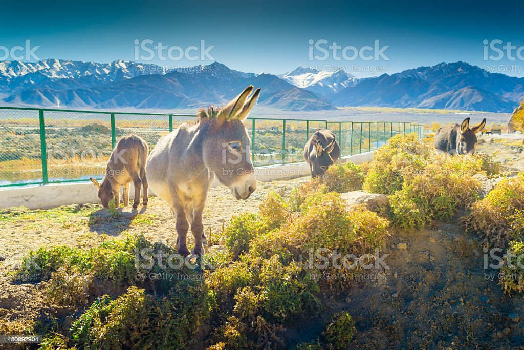 Grey donkey in Norther part of India stock photo