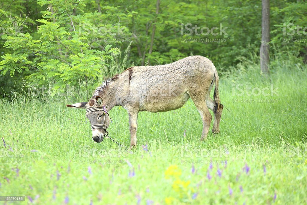 Grey donkey in the pasture royalty-free stock photo