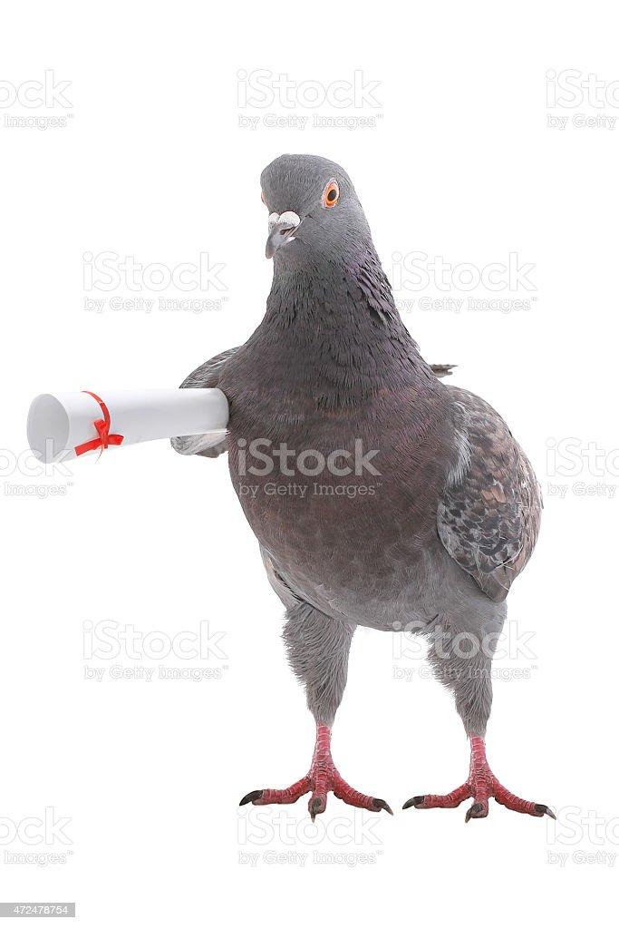 grey dove stock photo
