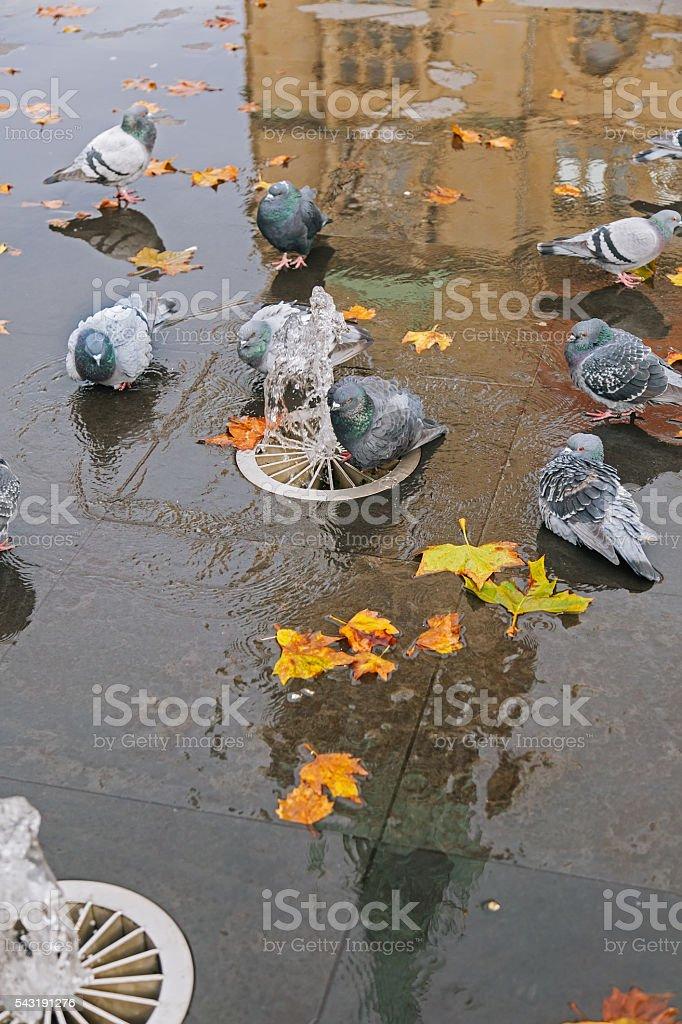 Grey doves near fountain, townhall reflection stock photo