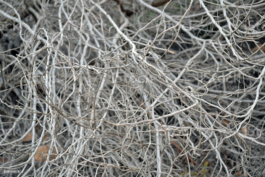 Grey dry kusthoy Thin branches of a bush. stock photo