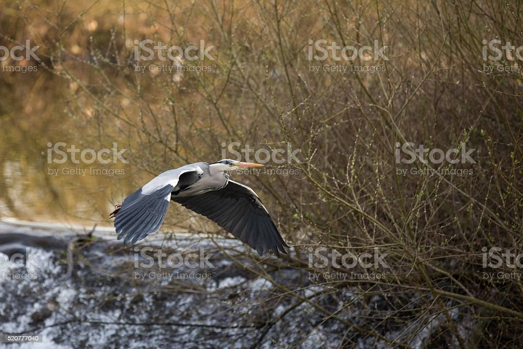 Grey Egret Flight stock photo
