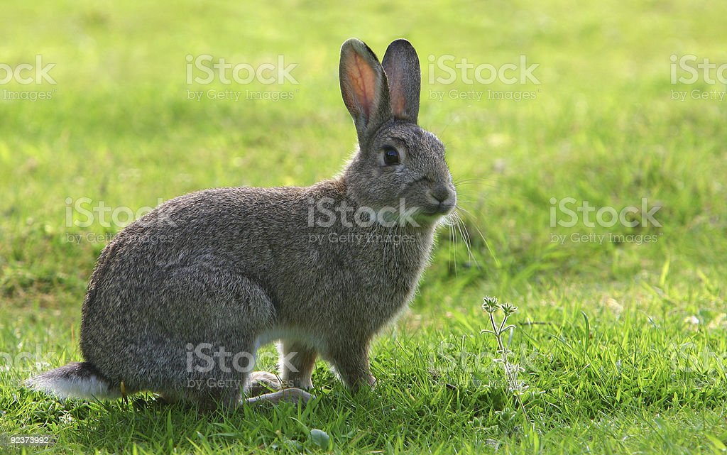 A grey European rabbit (Oryctolagus cuniculus) in the field stock photo