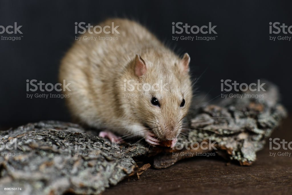 Grey fancy rat eating nut on dark background stock photo
