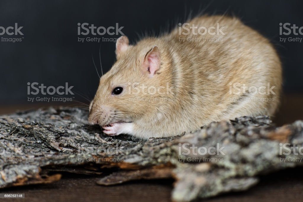 Grey fancy rat eating seeds on dark background stock photo