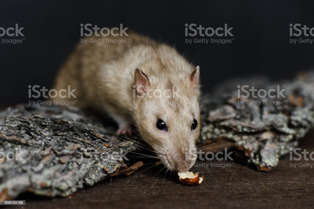 Grey fancy rat trying to reach for nut stock photo