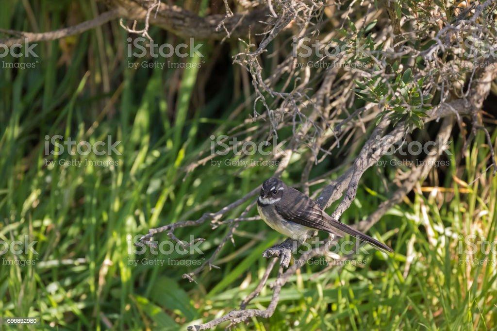 Grey Fantail insectivorous bird with white eye markings perching on branch in Tasmania, Australia stock photo