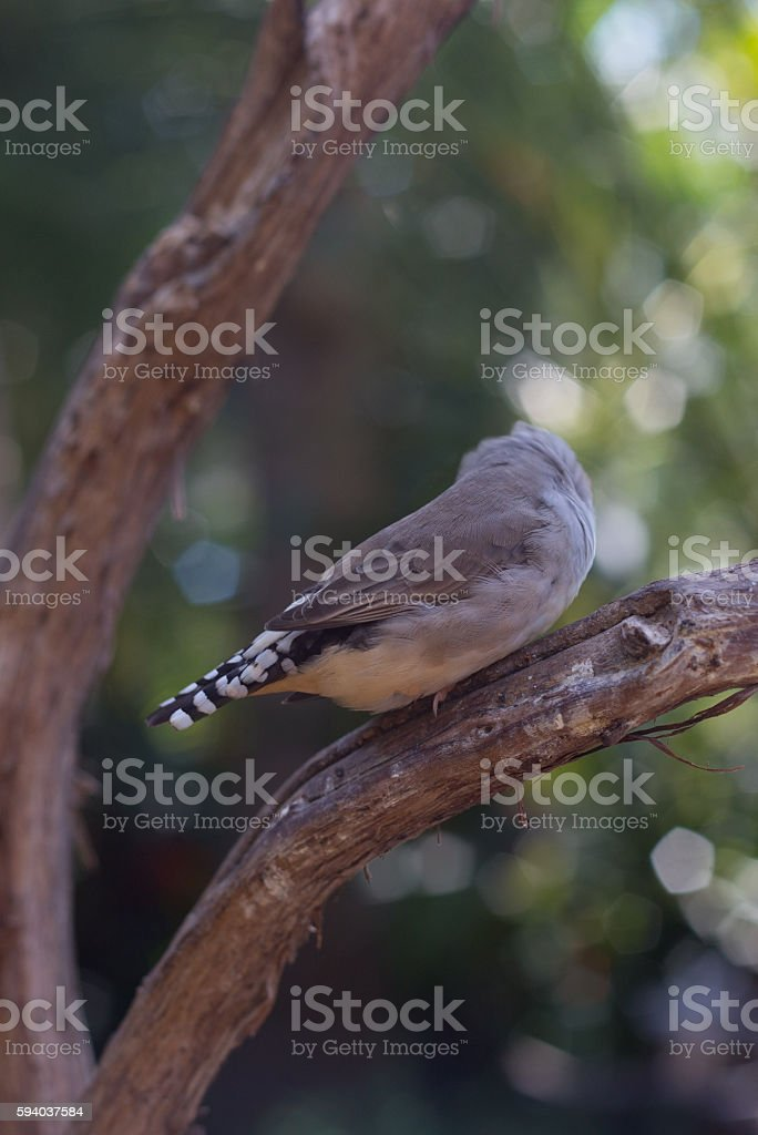 Grey Finch Perched stock photo