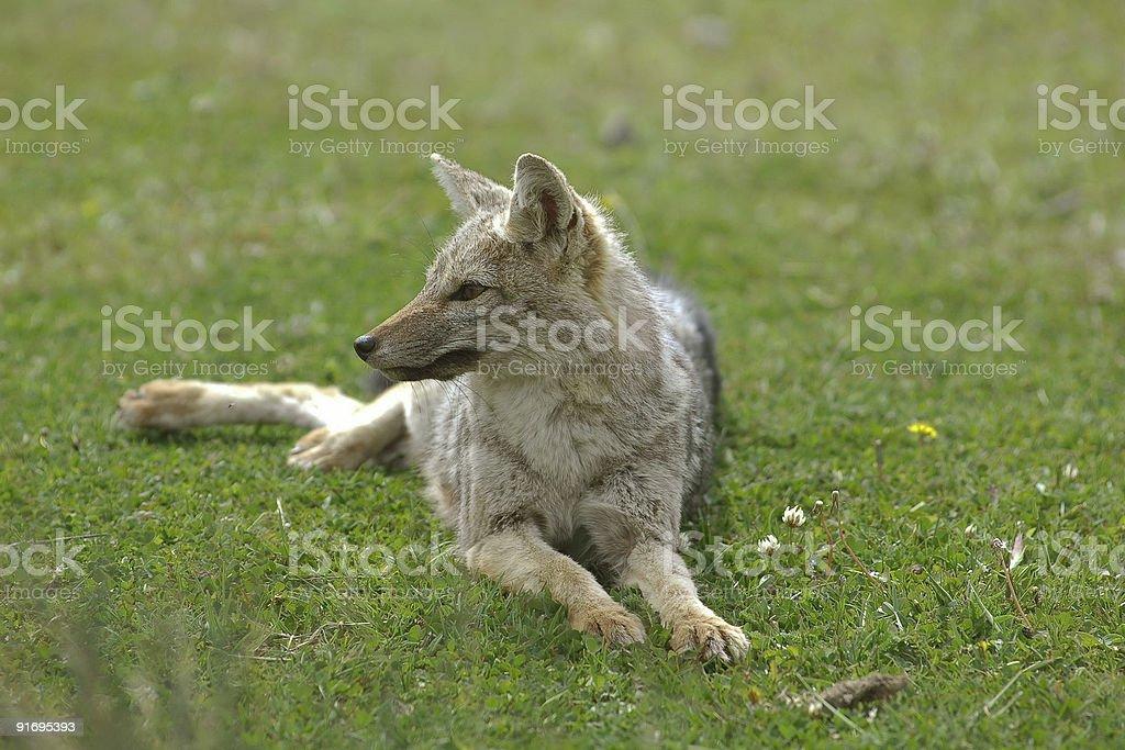 Grey Fox royalty-free stock photo