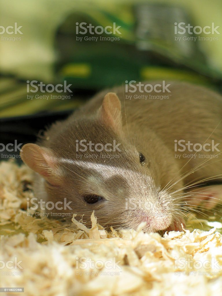 Grey gerbil sleeping stock photo