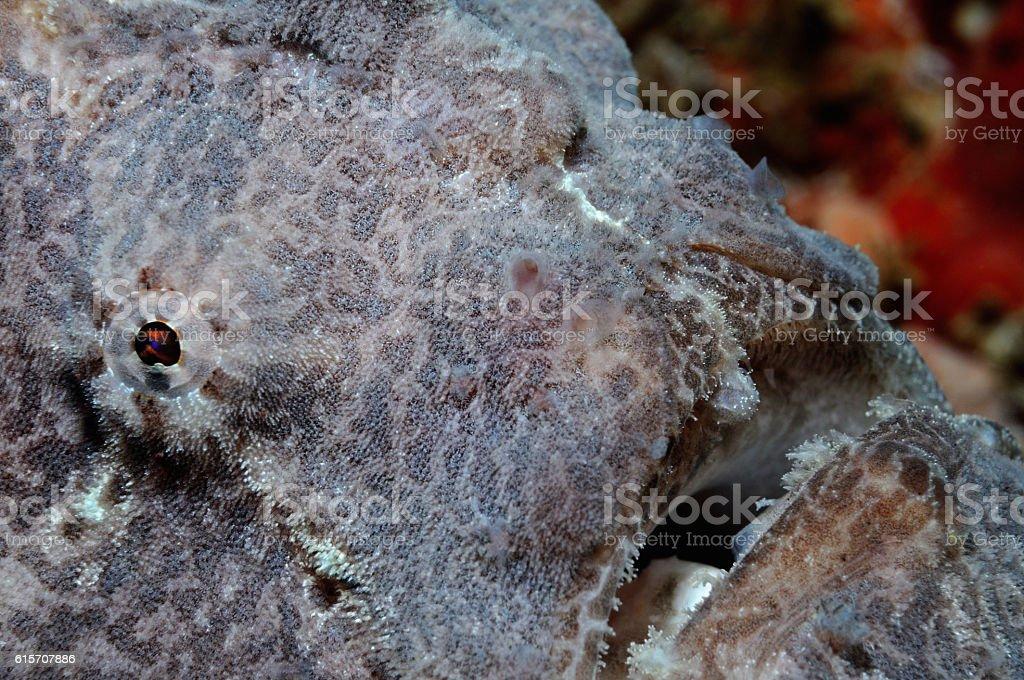 Grey giant frogfish stock photo