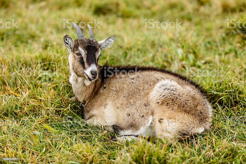 Grey Goat lying on a meadow stock photo