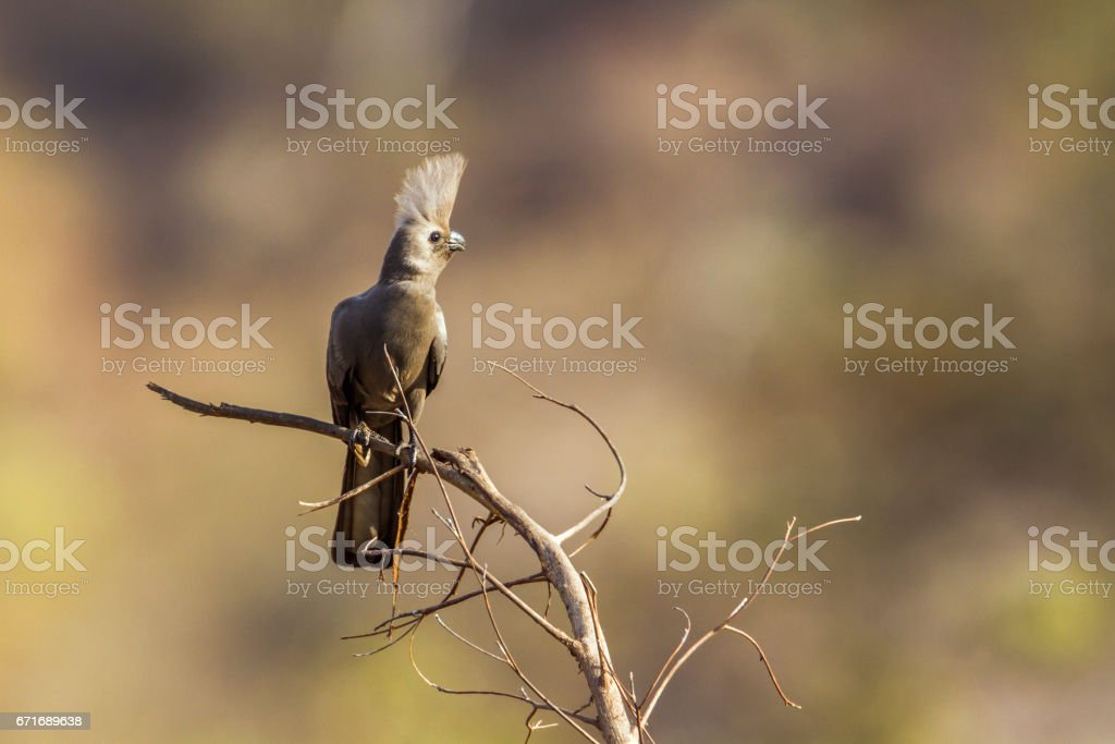 Grey go-away bird in Kruger National park, South Africa stock photo