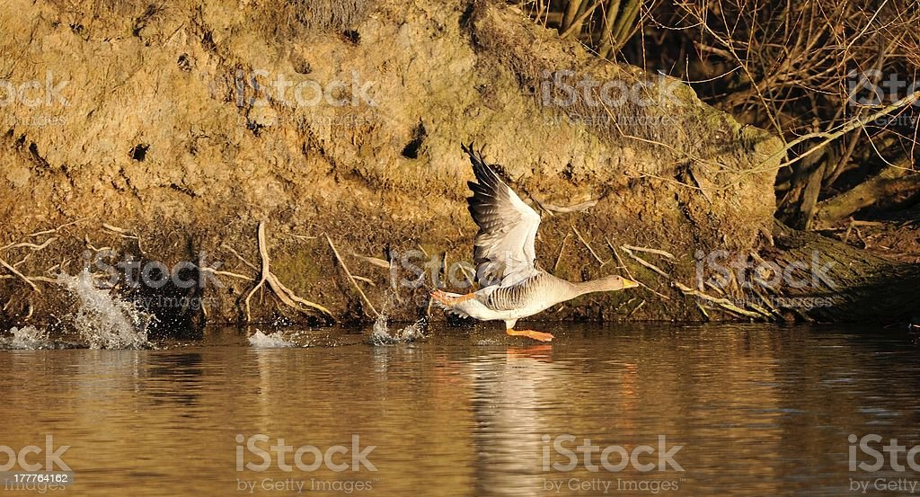 Grey Goose at the start royalty-free stock photo